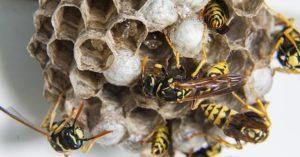 disinfestazione vespe calabroni scandicci